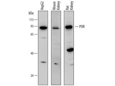 Human / Mouse / Rat POR / Cytochrome P450 Reductase Antibody