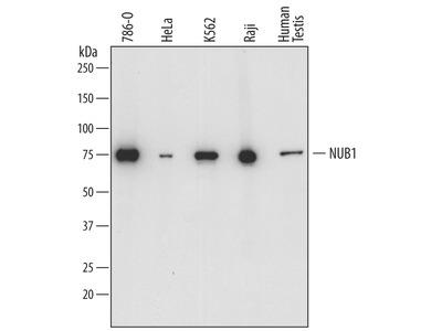 NUB1 Antibody
