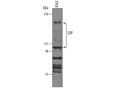 CDP /CUTL1 Antibody