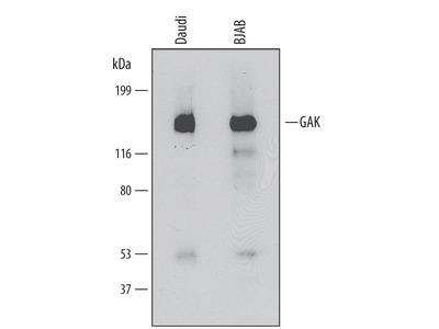 GAK Antibody