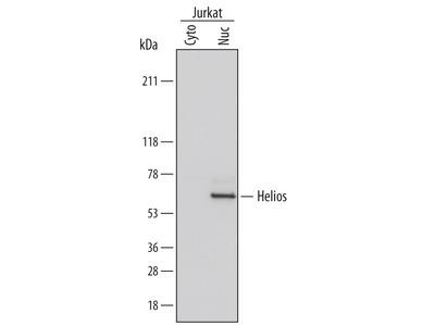Human Helios Antibody