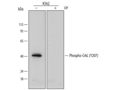 Phospho-CrkL (Y207) Antibody