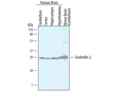 Cerebellin-2 Antibody
