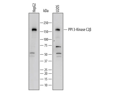 PI 3-Kinase C2 beta Antibody