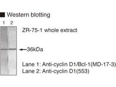 Anti-Cyclin D1 (Human) mAb