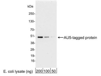 AU5 Epitope Tag Antibody