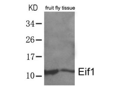 anti EIF1 / SUI1 (4-8)