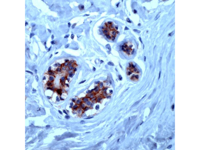 anti CD324 / Cadherin-1
