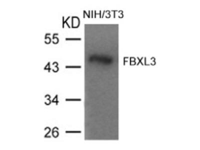 anti FBXL3 (1-5)