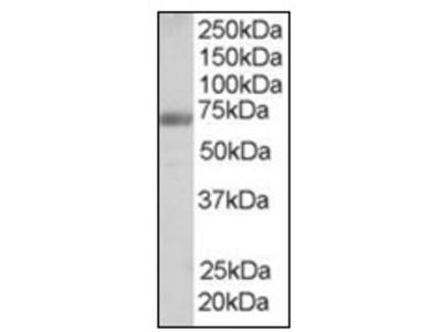 anti Formin-binding protein 1 (132-145)