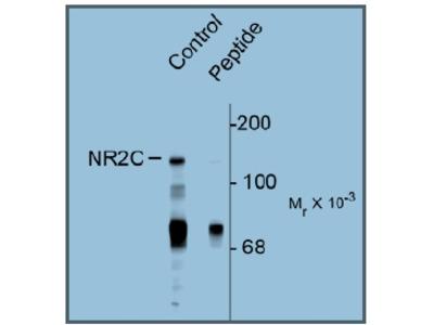 anti NMDA Receptor 2C pSer1244