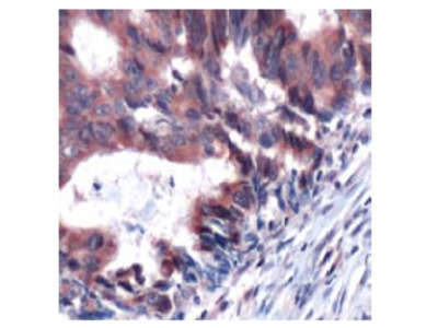anti TUBG1 / Tubulin gamma 1 (C-term)