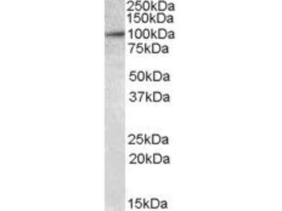 E2F7 Polyclonal Antibody