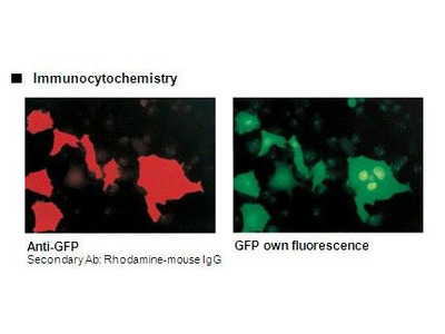 Anti-GFP (Green Fluorescent Protein) mAb
