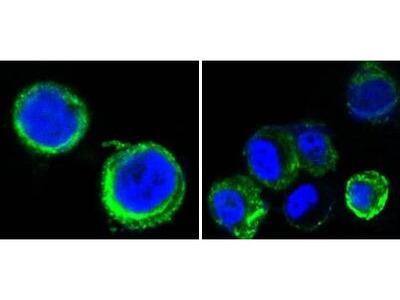 Axl Monoclonal Antibody (7E10)