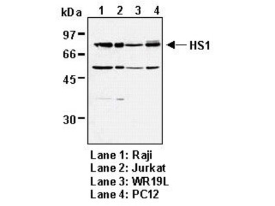 Anti-HS1 (Human) mAb