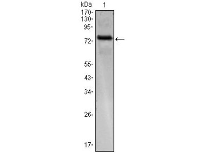 ENC-2 Monoclonal Antibody (1B7)