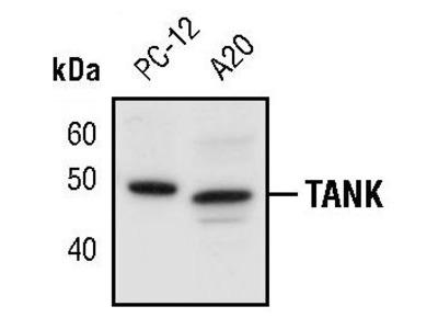 TANK Polyclonal Antibody