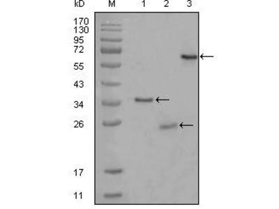 CD33 Monoclonal Antibody (2B7C12)