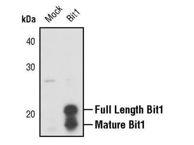 Bit1 Polyclonal Antibody