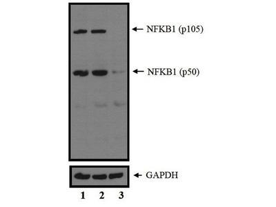 NFkB p50 Polyclonal Antibody