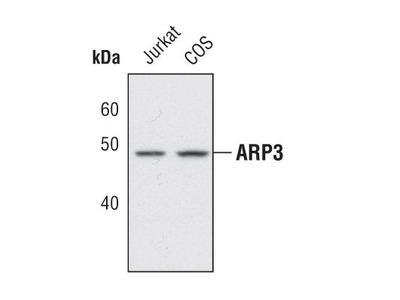 Arp3 Polyclonal Antibody