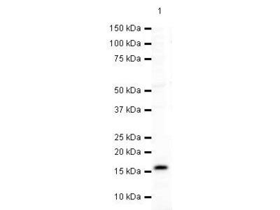 gamma Synuclein Polyclonal Antibody