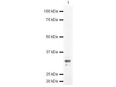 DTNBP1 Polyclonal Antibody