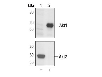 AKT1 Monoclonal Antibody (G.145.7)