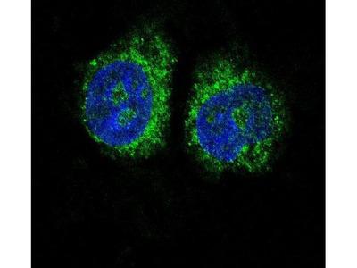 Nurr1 Polyclonal Antibody