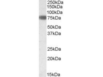 EBF1 Polyclonal Antibody