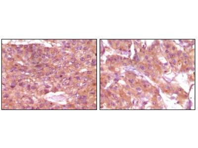 SRA1 Monoclonal Antibody (1D4H8)