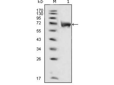FGFR1 Monoclonal Antibody (3D4F7)