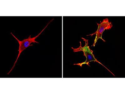 CD44 Monoclonal Antibody (1M7.8.1)