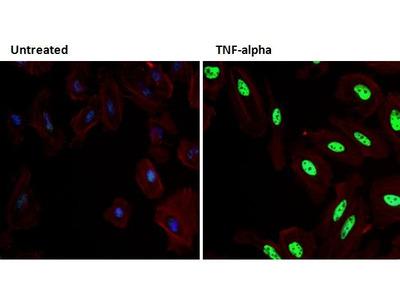 Phospho-p38 MAPK (Thr180, Tyr182) Monoclonal Antibody (C.7.8)