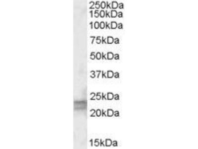 ARL4D Polyclonal Antibody