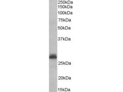 TAZ Antibody