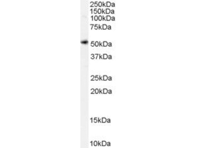 SLC7A11 Polyclonal Antibody