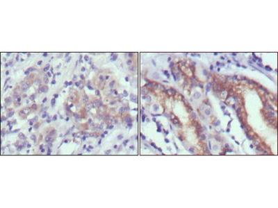 CER1 Monoclonal Antibody (9D6)