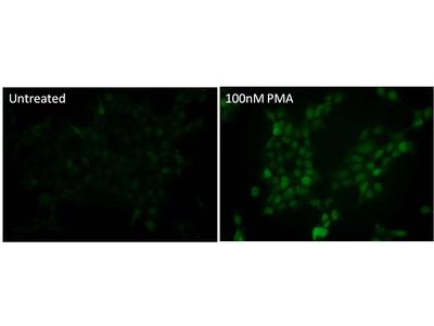 Phospho-p38 MAPK (Thr180, Tyr182) Monoclonal Antibody (S.417.1)
