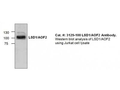 LSD1/AOF2 Antibody