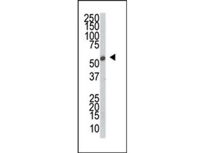 SRPK2 antibody