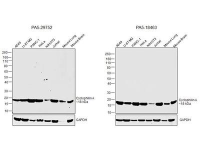 Cyclophilin A Polyclonal Antibody