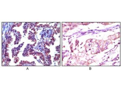 TRIM5 alpha Antibody