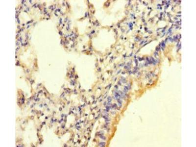 POMK antibody