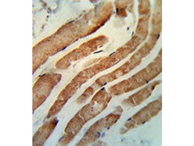 RAB7 antibody