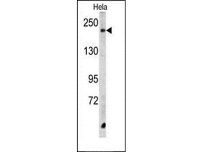 CPD antibody