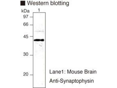 Anti-Synaptophysin (Guinea pig) mAb