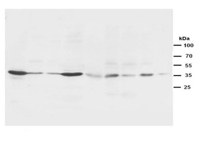 HHEX antibody