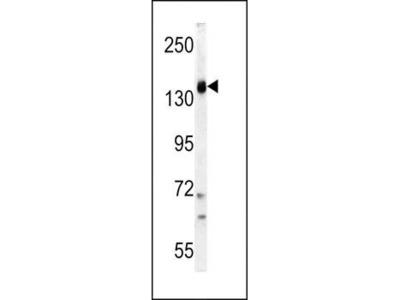 PI3KCG antibody